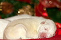 Small white puppy sleeping cute on red pillow Royalty Free Stock Image