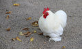 Small white rooster on a farm poultry farming in agriculture cultivation of chicken Royalty Free Stock Photo