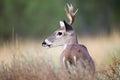 Small whitetail buck portrait Royalty Free Stock Photo