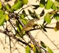 Small wild bird phylloscopus canariensis on plum tree branch of Stock Images