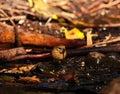 Small wild bird phylloscopus on the wet soil canariensis organic Royalty Free Stock Photo