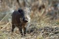 A small wild boar began shuttle back and forth between withered grass Stock Images