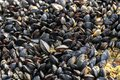 Small wild mussels growing on rock Royalty Free Stock Photo