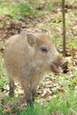 Small wild pig Royalty Free Stock Photos