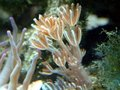A Small Xenia Coral Royalty Free Stock Image