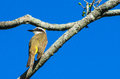 Small yellow bird on the tree Royalty Free Stock Photo
