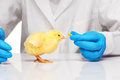Small yellow chicken getting pill from veterinarians hand Royalty Free Stock Photo