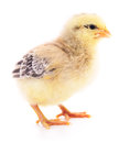 Small yellow chicken. Royalty Free Stock Photo