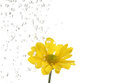 Small yellow flower being irrigate isolated on white shallow dof Royalty Free Stock Photos