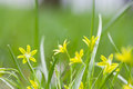Small yellow flowers blooming in grass field. Gagea lutea Yellow Star of Bethlehem spring flowers in the lily family