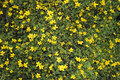 SMALL YELLOW FLOWERS / BIDENS ...