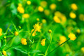 Small yellow flowers in the grass Stock Photo