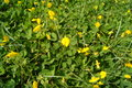 Small yellow flowers on the lawn Royalty Free Stock Photo