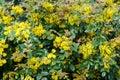 Small yellow flowers mahonia Royalty Free Stock Photo
