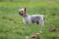 Small Yorkshire Terrier dog on green grass Royalty Free Stock Photo