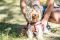 A small Yorkshire Terrier dog sitting sitting near the feet of its owner girl Royalty Free Stock Photo