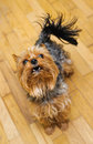 Small yorkshire terrier looking up and yap focus on a head Stock Image