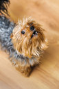 Small yorkshire terrier looking up and yap focus on a nose Royalty Free Stock Image
