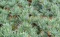 Small young blue female cones in green needles on branches of Blue Atlas Cedar tree Cedrus Atlantica Glauca in Feodosia Royalty Free Stock Photo