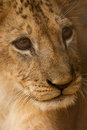 Small young lion muzzle close up Stock Photos