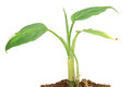 Small young plant grows from a fertile soil isolated Stock Photos