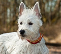 Smalll white dog outdoors Royalty Free Stock Photography