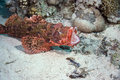 Smallscale scorpiofish Royalty Free Stock Photo