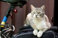 Smart look green-eyed cat on bicycle Royalty Free Stock Photo