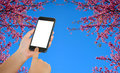 Smart phone on sakura or flower queen tiger background.