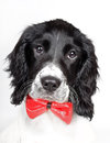 Smart springer spaniel portrait Royalty Free Stock Photography