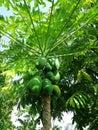 Papaya trees and leaves Royalty Free Stock Photo
