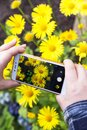 Smartphone, mobile phone on hands closeup. Making nature photo and video with yellow chamomile flowers on camera Royalty Free Stock Photo