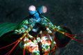 Smashing mantis shrimp Stock Photos