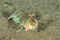 Smashing mantis shrimp odontodactylus latirostris lembeh strait north sulawesi indonesia Stock Photos