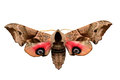 Smerinthus ocellatus eyed hawk moth known as the is a european of the family sphingidae Stock Photos