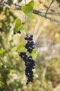 Smilax berries Royalty Free Stock Photo