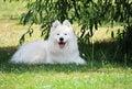 Smile of adorable white samoyed puppy dog photo Royalty Free Stock Images