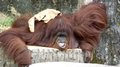 Smile for the camera orang utan giving its best me Stock Photos