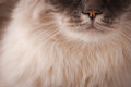 Smile domestic cat close up Royalty Free Stock Photo