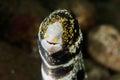 Smile snowflake moray eel in Ambon, Maluku, Indonesia underwater photo Royalty Free Stock Photo