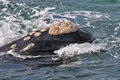 Smiley face a southern right whale head showing it s calositie patern Stock Images