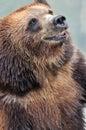 A smiling bear Royalty Free Stock Photo
