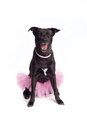 Smiling black mixed breed dog in pink tutu and pearl necklace a happy labrador pit bull terrier wearing a ballerina costume Stock Photos