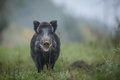 Smiling boar Royalty Free Stock Photo