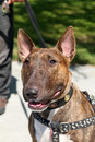 Smiling brindle bull terrier a head shot of a with a little scar on his nose Stock Images