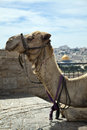Camel & Dome Of The Rock