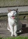 Smiling cat old black and white sitting in the sun Royalty Free Stock Photo