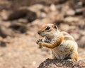 Smiling cute little African ground squirrel Royalty Free Stock Photo