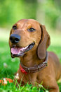 Smiling dachshund Stock Images
