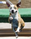 Smiling dog with drool in the air a jumping into pool all around Stock Photography